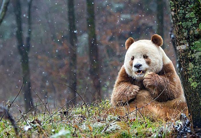 abandoned_brown_panda_04