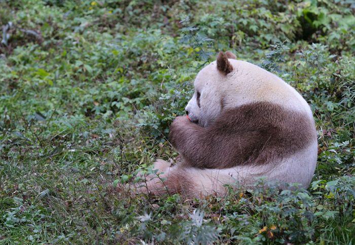 abandoned_brown_panda_05