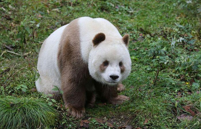 abandoned_brown_panda_06
