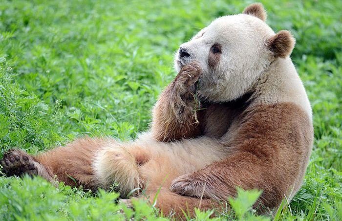 abandoned_brown_panda_09