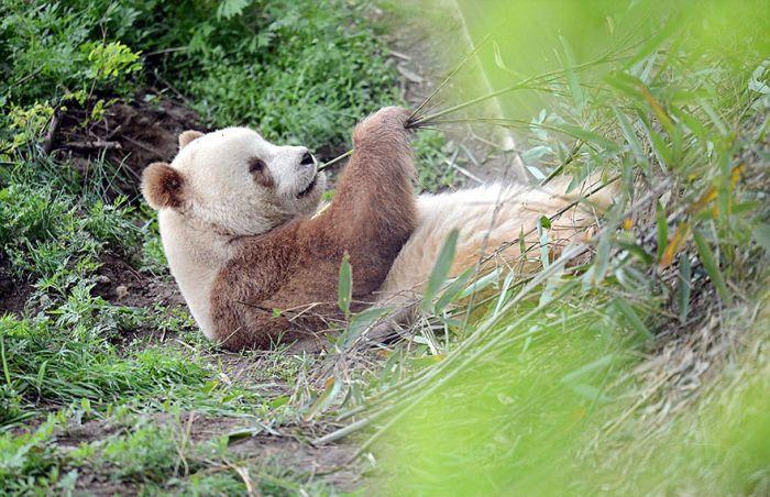 abandoned_brown_panda_10