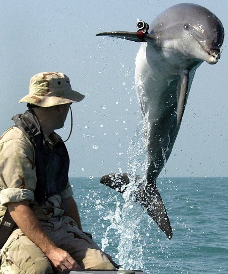 bottlenose-dolphin-military-persian-gulf-2003