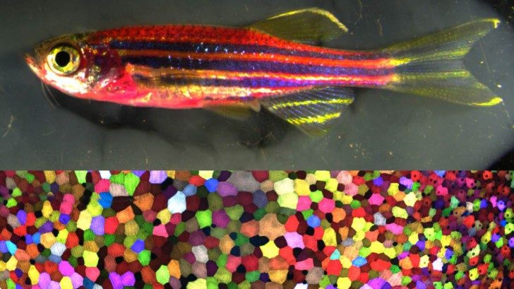skinbow-fish-cell_small