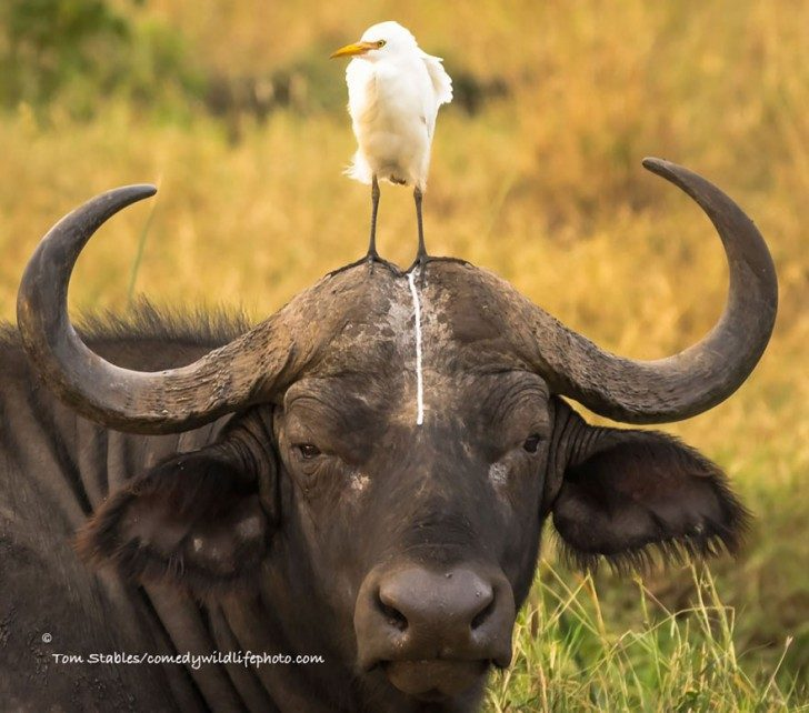 comedy-wildlife-photography-awards-2016-7-57f103aa749e0__880