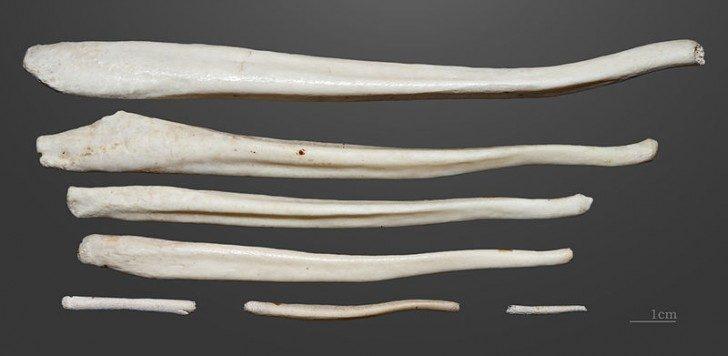 Kości penisa niedźwiedzia brunatnego. wikipedia
