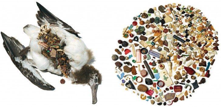 Ta młodzieńcza Laysan Albatross od atolu Kure nigdy nie dotarła do morza, umiera co Necropsy ujawni jako brzuchu wybrzuszenia z 12 uncji niestrawnych przedmiotów, gruzu głównie z tworzyw sztucznych, zgarnął z oceanu powierzchni przez rodziców pisklę i wypluta do jego rozszczelnienie dziób wraz z kalmarów i innych spożywczymi. Zdjęcie: David Liittschwager i Susan Middleton. Źródło: audubon.org