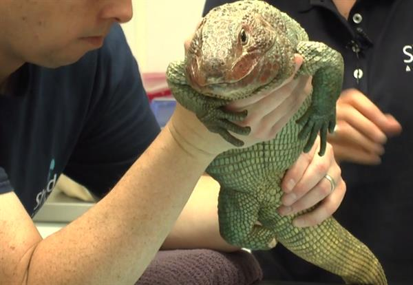 shedd-aquarium-3d-prints-prosthetic-foot-hiss-majesty-caiman-lizard-1