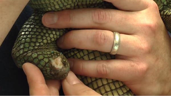 shedd-aquarium-3d-prints-prosthetic-foot-hiss-majesty-caiman-lizard-5