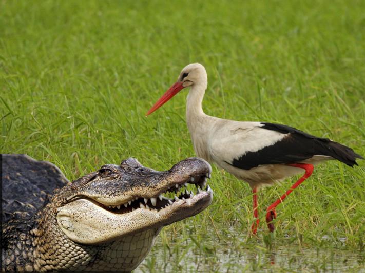 Krokodyl wklejony na zdjęcie z bocianem.