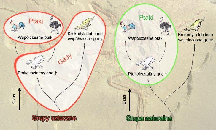 Schemat przedstawiający podejście współczesnej systematyki do tworzenia taksonów. Po lewej stronie przykład dwóch sztucznych grup: współczesne ptaki (tutaj kura oraz struś), połączone jako jedna gromada bez włączania do niej ich wspólnego przodka w postaci wymarłego gada ptakokształtnego. Drugą sztuczną gromadę stanowią gady reprezentowane przez krokodyla połączonego w jedną grupę z wymarłym przodkiem ptaków, ale bez dołączenia do niej współczesnych ptaków. Po prawej stronie przykład grupy naturalnej — współczesne ptaki w jednym taksonie razem z ich wspólnym przodkiem.