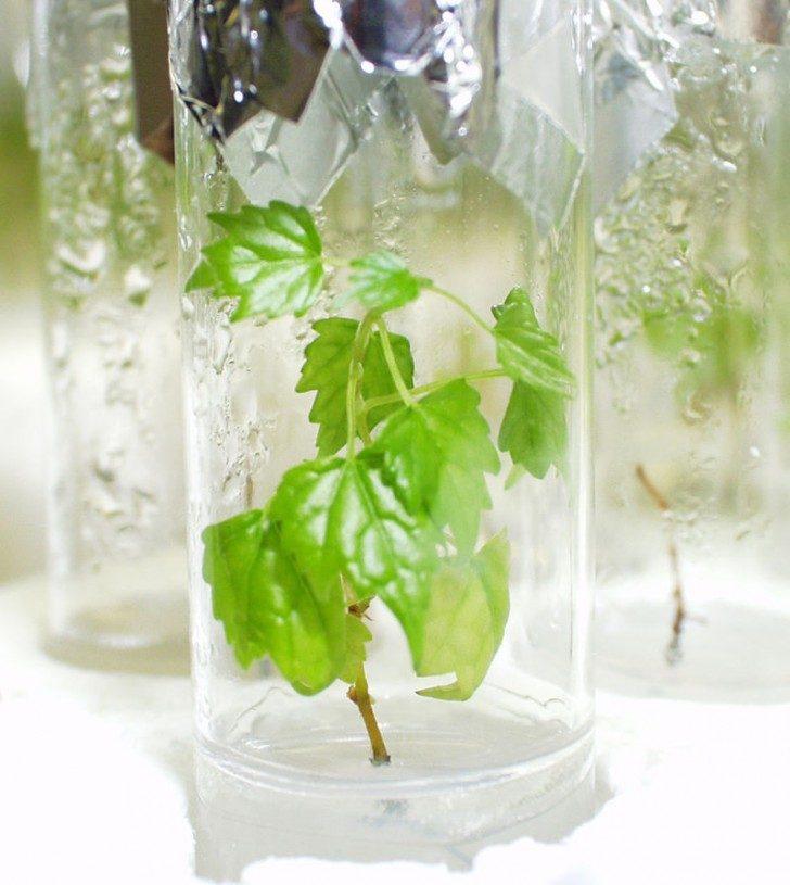 Szczepka winogrona hodowana w szklanym pojemniku w odpowiednich warunkach laboratoryjnych.