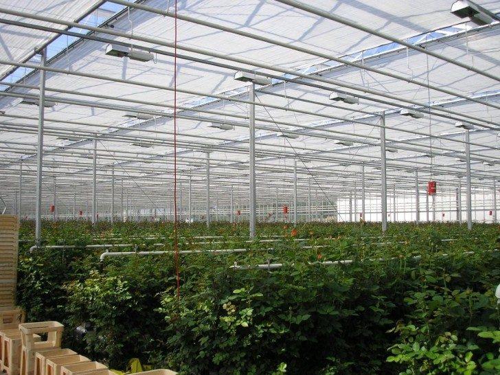 Na obrazku widoczne duże pole róż, hodowanych pod osłoną szklarni. Aparatura w postaci wywieszonych ponad roślinami rur zapewnia odpowiednie nawodnienie rosnącym różom.