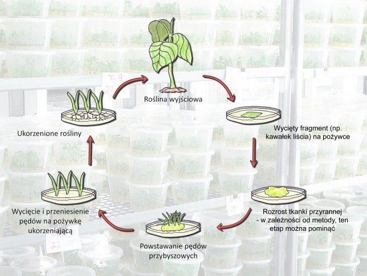 Rysunek przedstawia sześć etapów cyklu namnażania roślin w warunkach in vitro. W pierwszym z rośliny wyjściowej pobiera się fragment (np. kawałek liścia), który następnie hodowany jest na specjalnej pożywce. Po pewnym (kilku dni lub tygodni), na fragmencie tym zazwyczaj rozwija się obficie tkanka przyranna. Etap ten, można jednak pominąć w zależności od stosowanej metody. W kolejnym kroku na hodowanej tkance pojawiają się pędy przybyszowe, które wycina się i przenosi na pożywkę ukorzeniającą. Po upływie kilku dni lub tygodni wycięte pędy wypuszczają korzenie. Tak otrzymane rośliny są identyczne z rośliną wyjściową - cykl się zamyka.