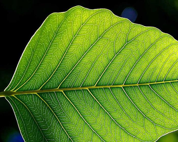Zielony liść, lekko oświetlony.