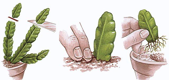 Rysunek przedstawiający sadzonkowanie rośliny w trzech krokach. W pierwszym odcina się górny fragment jej pędu, a następnie wkłada na niewielką głębokość do gleby od strony powierzchni ciętej. W ostatnim kroku wycięty fragment rośliny, wypuszcza nowe korzenie.