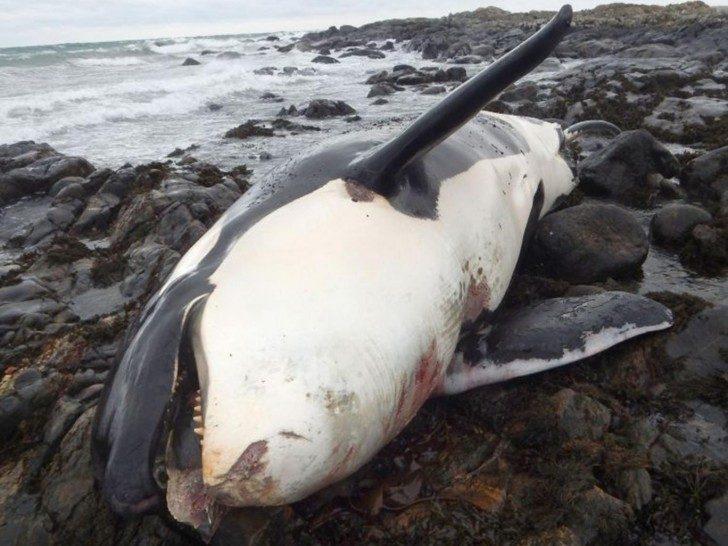 Na zdjęciu widoczne ciało Lulu wyrzucone na brzeg. Wokół brzucha oraz pyska ślady blizn.