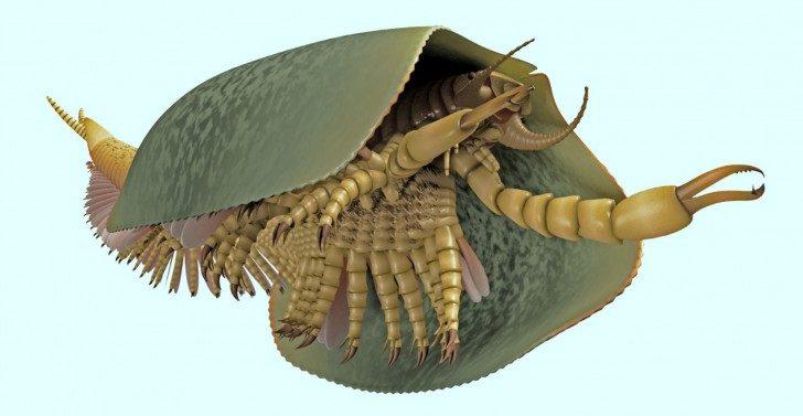 Widok na Tokummia katalepsis od przodu. Wizualizacja 3D obrazuje symetrycznie rozdwojoną skorupę na jego grzbiecie. Spod skorupy wystaje 50 rzędów par odnóży oraz wypustki o kształcie łopatek, które prawdopodobnie pełniły funkcję skrzeli. Pierwsza para odnóży to długie szczypce. Na końcu odwłoka tego stawonoga znajduje się ogon z dwoma wypustkami.