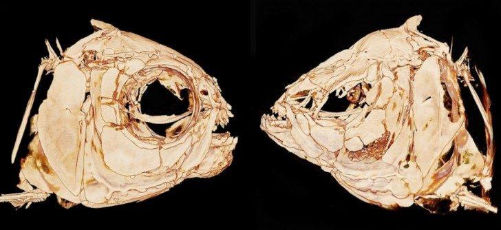 Zdjęcie przedstawia porównanie budowy na przekroju czaszki Lustrzenia z populacji powierzchniowej i ślepej. Czaszka tej pierwszej wygląda jak u większości ryb z dobrze wykształconymi oczodołami i półokrągłym pyskiem. Czaszka ryb z populacji ślepej jest mocno zdeformowana, spłaszczona grzbietobrzusznie, pysk o kształcie trójkątnym, a oczodoły zapadnięte.