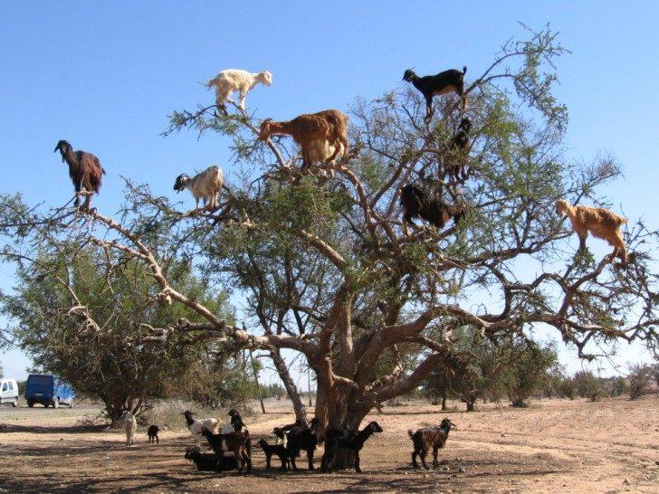 Zdjęcie przedstawia stado kóz stojących na gałęziach drzewa. Część z nich przebywa również pod drzewem, prawdopodobnie osłaniając się w jego cieniu przed słońcem lub czekając na swoją kolej do wspinaczki.