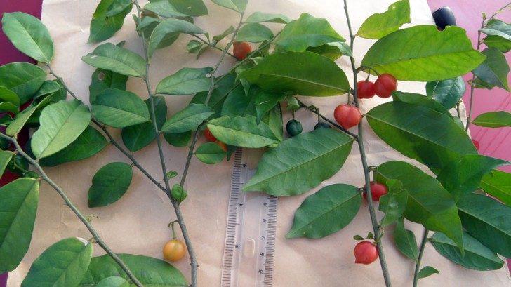 Zdjęcie gałązek Carpolobia lutea długości kilkudziesięciu centymetrów. Na nich widoczne są czerwone i pomarańczowe owoce o rozmiarach zbliżonych do owoców maliny. Liście kształtu eliptycznego o długości kilkunastu centymetrów, rozwijające się w sposób skrętoległy.
