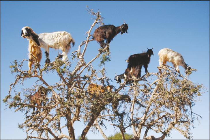 Zdjęcie ukazujące kilka kóz stojących na gałęziach drzewa Arganii. Obrazek wygląda dosyć komicznie, zwłaszcza że gałęzie wyglądają na dosyć wiotkie w stosunku do przebywających na nich zwierząt. Mimo to zdjęcie jest autentyczne.