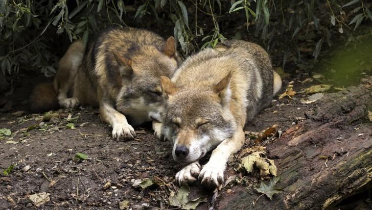 Jak wilki wykorzystywały ludzi?