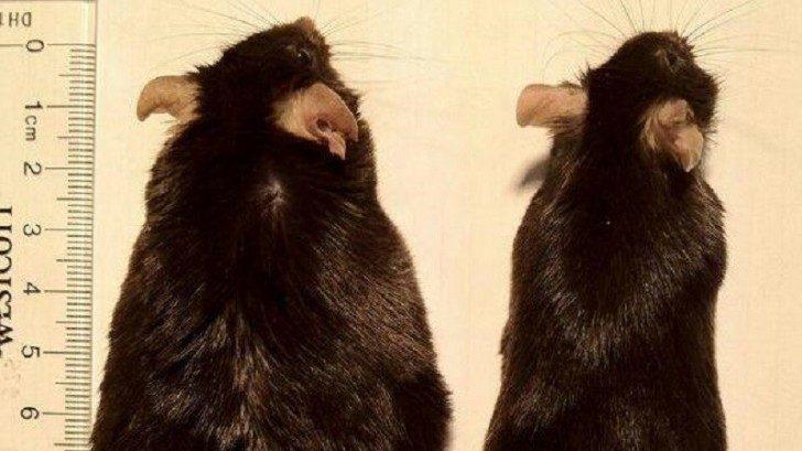 Na zdjęciu pochodzącym z przeprowadzonych badań naukowych widoczne są dwie myszy. Ta po lewej stronie jest znacznie grubsza (ma prawie 6 cm szerokości na wysokości brzucha) od tej po prawej (u tej około 3 cm szerokości na wysokości brzucha). Myszy mają natomiast tą samą długości ciała od pyszczka do początku ogona, czyli około 10 cm.