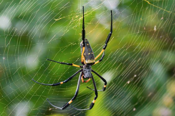 Na zdjęciu widoczny pająk z rodzaju Nephila, przesiadujący na swojej pajęczynie. Nitki, z których zbudowana jest sieć mają żółty kolor. Pająk jest natomiast czarny z żółtymi elementami. Ogólnym wyglądem przypomina nieco naszego rodzimego pająka krzyżaka, z tą różnicą, że jest smuklejszy i mniej owłosiony.