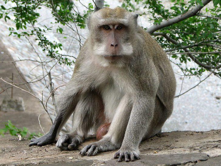 Na zdjęciu widoczna małpa z gatunku Makak krabożerny występująca na terenach południowo-wschodniej Azji.