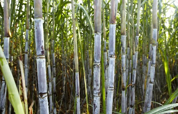 Na zdjęciu widoczna trzcina cukrowa. Łodygi pokryte są białawą warstwą.
