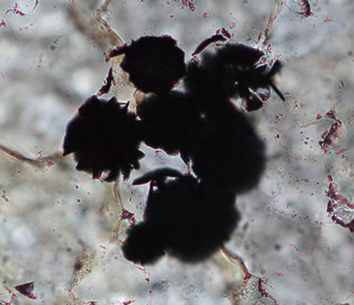 Zdjęcie mikroskopowe przedstawia czarne grudki grafitu znajdujacego się w osadach skalnych.