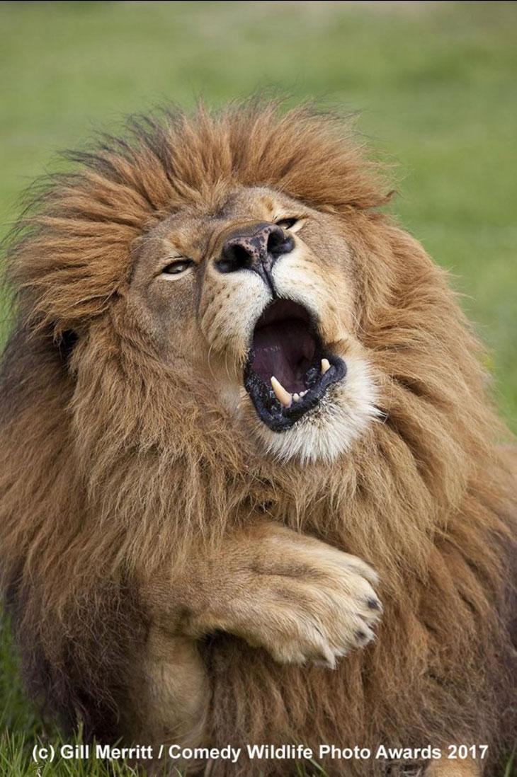 Śpiewający lew