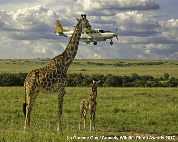 Żyrafy są naprawdę wysokie