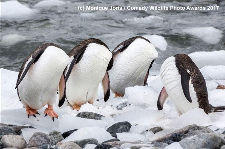 Pingwiny bez głów