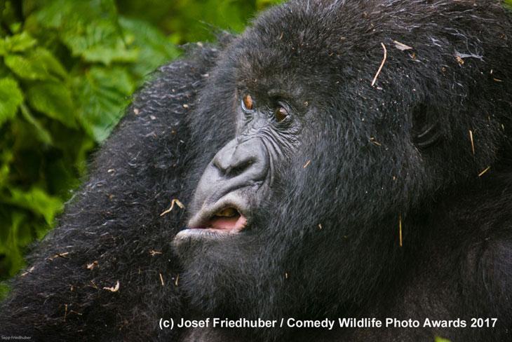 Zniesmaczony goryl