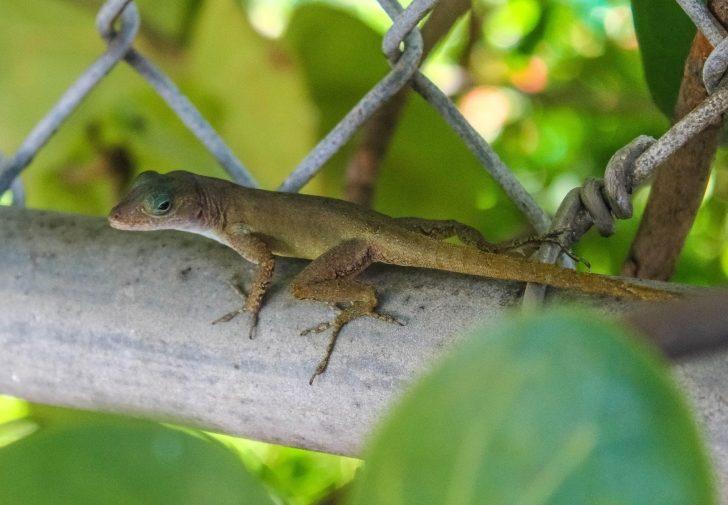 Na zdjęciu znajduje się jaszczurka z gatunku Anolis cristatellus.