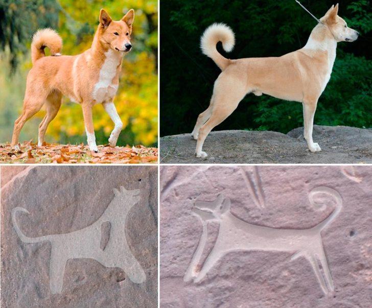 Zdjęcie porównuje psy przedstawione na naskalnych petroglifach z obecnie żyjącymi psami rasy kananejskiej. Podobieństwo jest silnie widoczne - w obu przypadkach identycznie zawinięty ogon i spiczaste uszy.