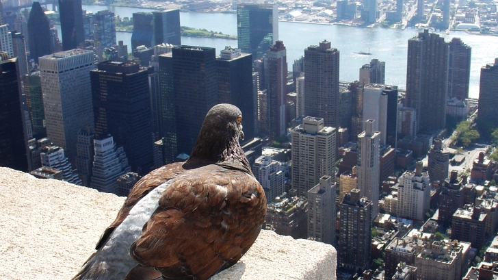 Zdjęcie przedstawia gołębia siedzącego na dachu Empire State Building w Nowym Jorku.