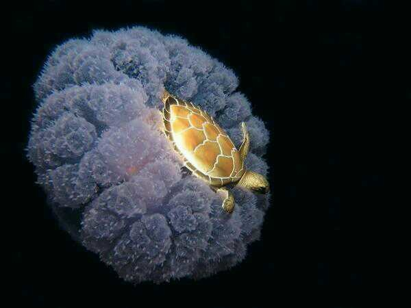 Mały żółw podróżujący na meduzie
