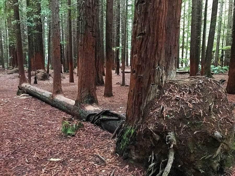 Cztery drzewa wyrosły z jednego, które upadło