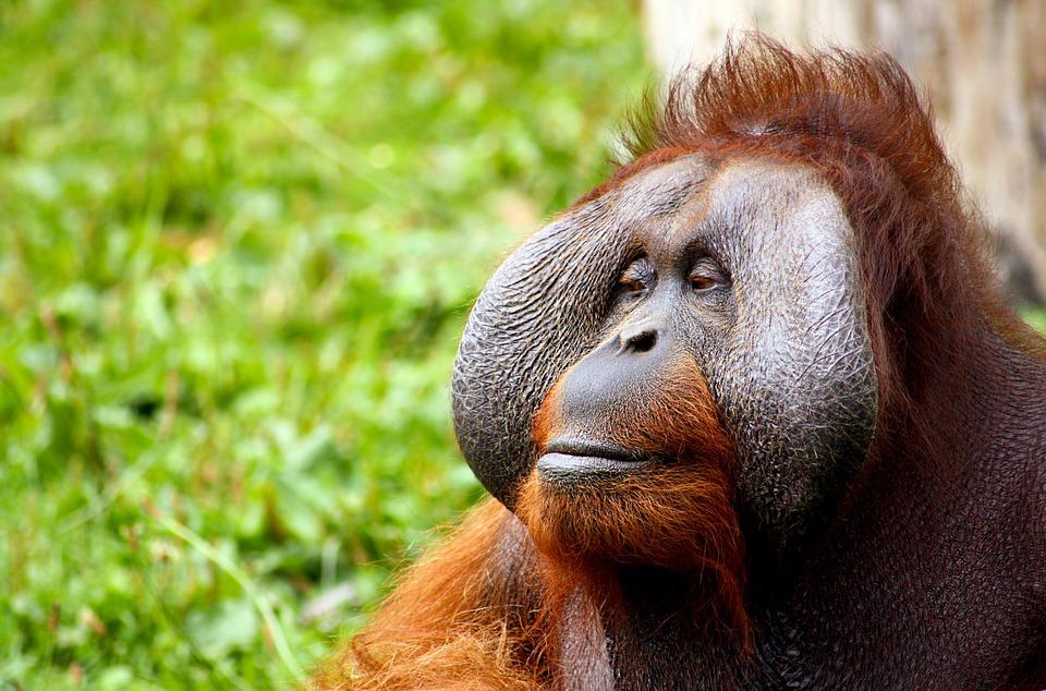 Orangutan u doktora, czyli małpy korzystające ze środków przeciwbólowych