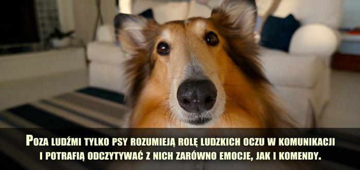 Poza ludźmi tylko psy rozumieją rolę ludzkich oczu w komunikacji i potrafią w ten sposób odczytywać zarówno emocje, jak i komendy.