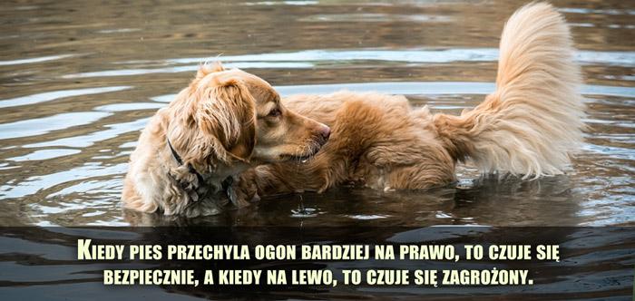 Kiedy pies przechyla ogon bardziej na prawo, to czuje się bezpiecznie, a kiedy na lewo, to czuje się zagrożony.
