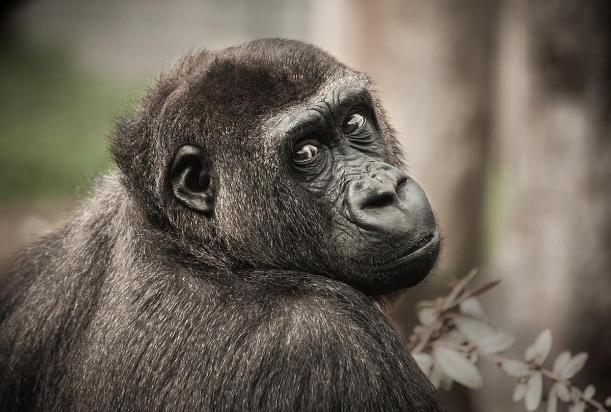 5 nieoczywistych ciekawostek o szympansach