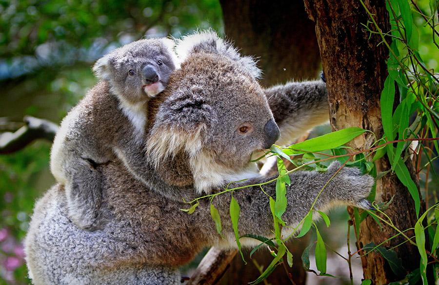 5 nieoczywistych ciekawostek o miśkach koala