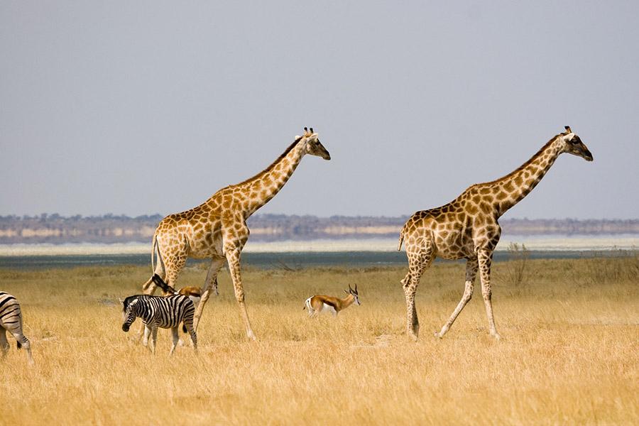 Żyrafa - ciekawostki o żyrafach na Ciekawe.org