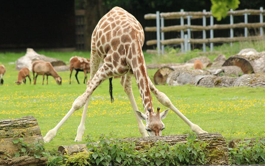 5 nieoczywistych ciekawostek o żyrafach