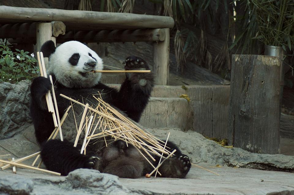 Niedźwiedź panda wielka