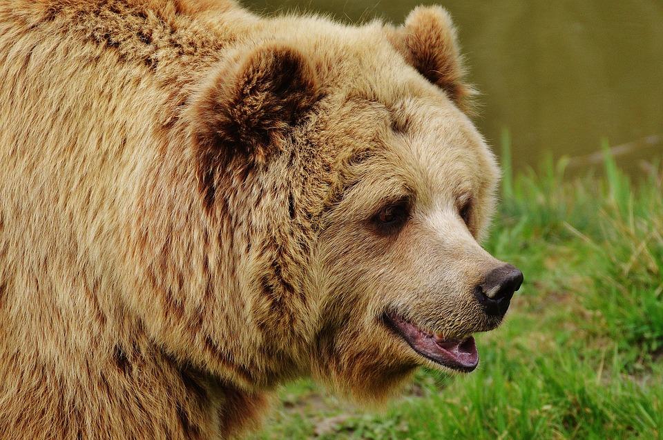 Niedźwiedź Kodiak