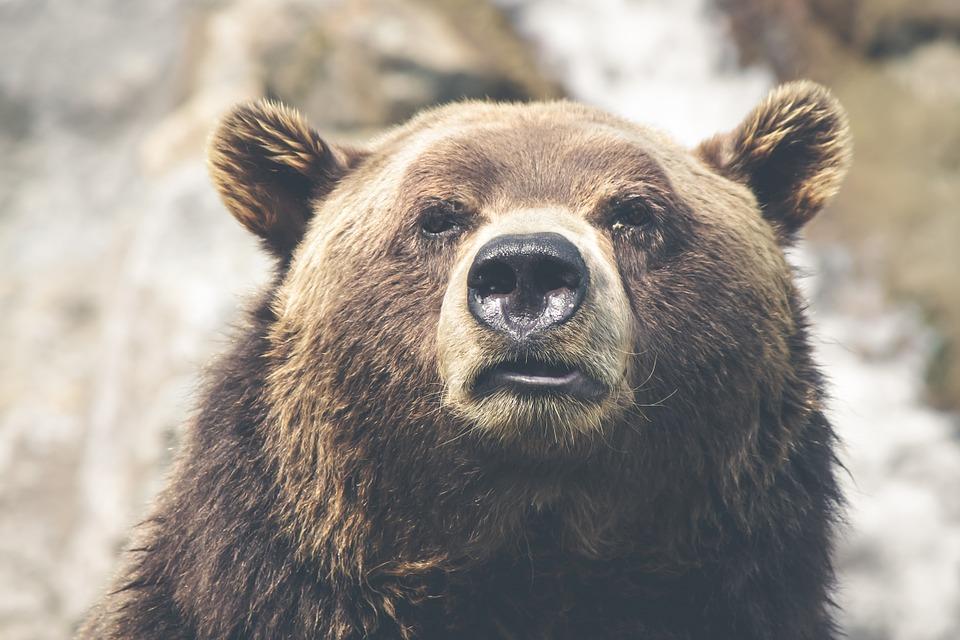 Niedźwiedź zmysł węchu